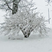 Location: My GardensDate: December 27, 2011After The Snow