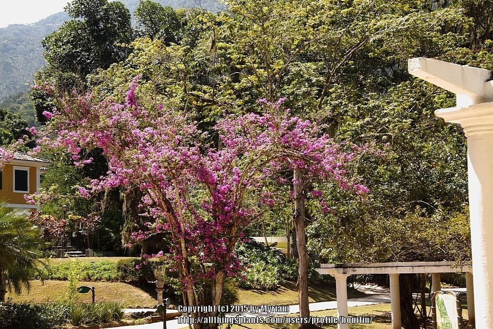 Photo of Great Bougainvillea (Bougainvillea spectabilis) uploaded by bonitin