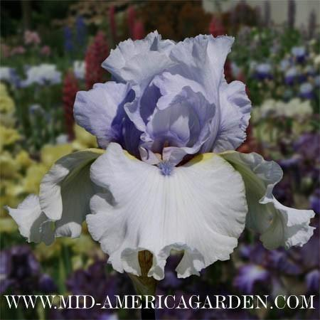 Photo of Tall Bearded Iris (Iris 'Winter Breeze') uploaded by Calif_Sue