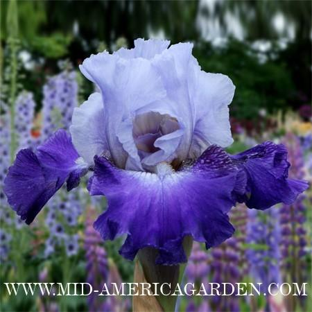 Photo of Tall Bearded Iris (Iris 'Water of Life') uploaded by Calif_Sue