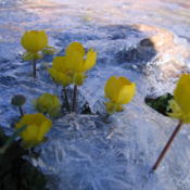 Location: flower in the ice at the top of the mountain in the way of Kelardasht, IranDate: 2008-07-18Photo courtesy of: Mardetanha