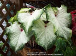 Thumb of 2015-02-15/caladiums4less/cbc68a