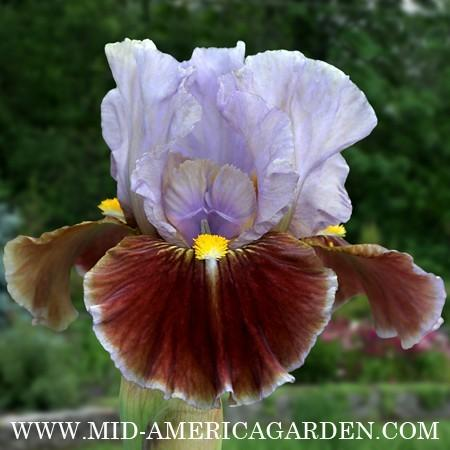 Photo of Intermediate Bearded Iris (Iris 'Man's Best Friend') uploaded by Calif_Sue
