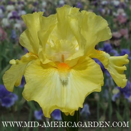 Photo of Intermediate Bearded Iris (Iris 'Dancing in the Moonlight') uploaded by Calif_Sue
