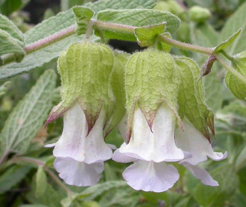 Photo of Woodbalm (Lepechinia calycina) uploaded by Calif_Sue