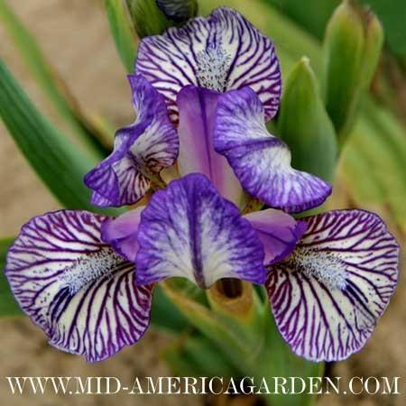 Photo of Standard Dwarf Bearded Iris (Iris 'Lovesick Blues') uploaded by Calif_Sue
