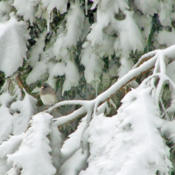 Location: My GardensDate: March 12, 2014A Junco Finds Shelter In Snow Covered Branches