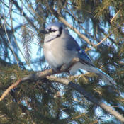 Location: My GardensDate: February 7, 2014A Blue Jay Rests In the Branches #Birds