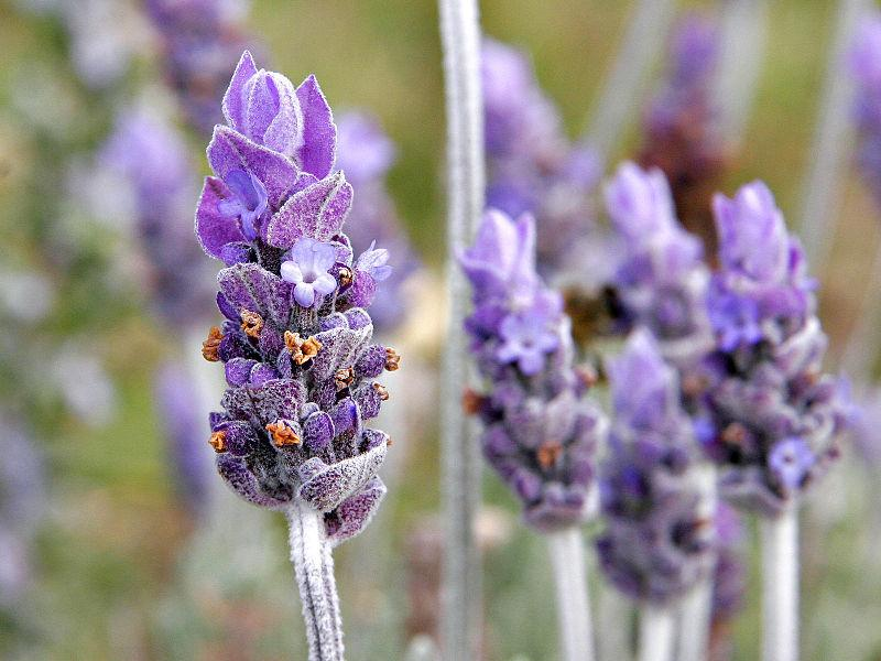 Photo of Lavenders (Lavandula) uploaded by Calif_Sue