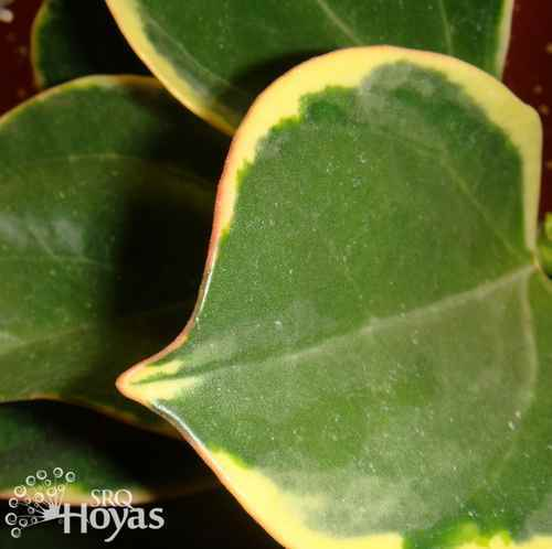 Photo of Hoya (Hoya pachyclada) uploaded by SRQHoyas
