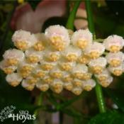 Location: SRQHoyasDate: 2015-02-19Hoya obscura white form SRQ 3082