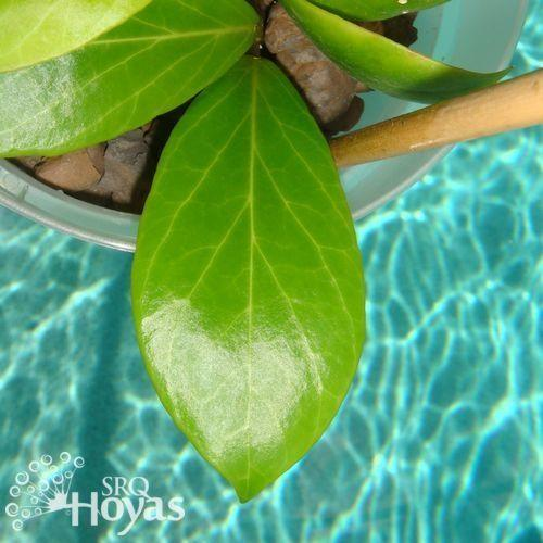Photo Of The Leaves Of Hoya Hoya Obscura Posted By Srqhoyas