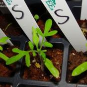 Yellow-green seedlings to left and right, green seedling in the m