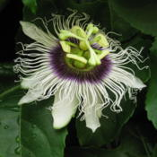 Location: Colima, Mexico (Zone 11)Date: 2010-06-18Passiflora edulis 'Flavicarpa'