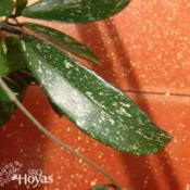 Location: SRQHoyasDate: 2015-02-20Hoya pubicaly 'Royal Hawaiian Purple' IML 56