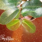 Location: SRQHoyasDate: 2015-02-20Hoya patella orange SRQ 3299