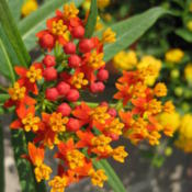 Location: Colima, Colima Mexico (Zone 11)Date: 2011-04-28Tropical Milkweed (Asclepias curassavica).  Wildflower