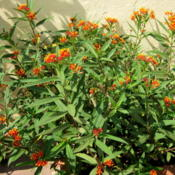Location: Colima, Colima Mexico (Zone 11)Date: 2010-11-01Tropical Milkweed (Asclepias curassavica).  Wildflower native to
