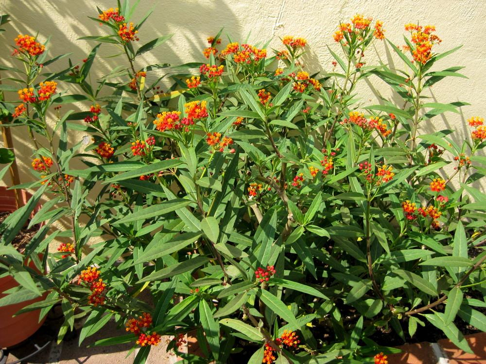 Photo of Tropical Milkweed (Asclepias curassavica) uploaded by vitrsna