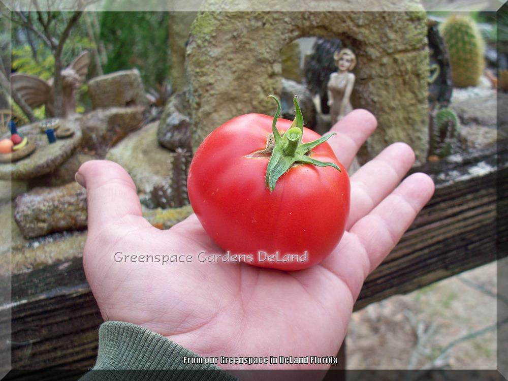 Photo of Tomato (Solanum lycopersicum 'Rutgers') uploaded by DavidofDeLand