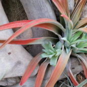 Location: Holmes Beach FLDate: 2015-01-26Mother plant with 3 little green pups