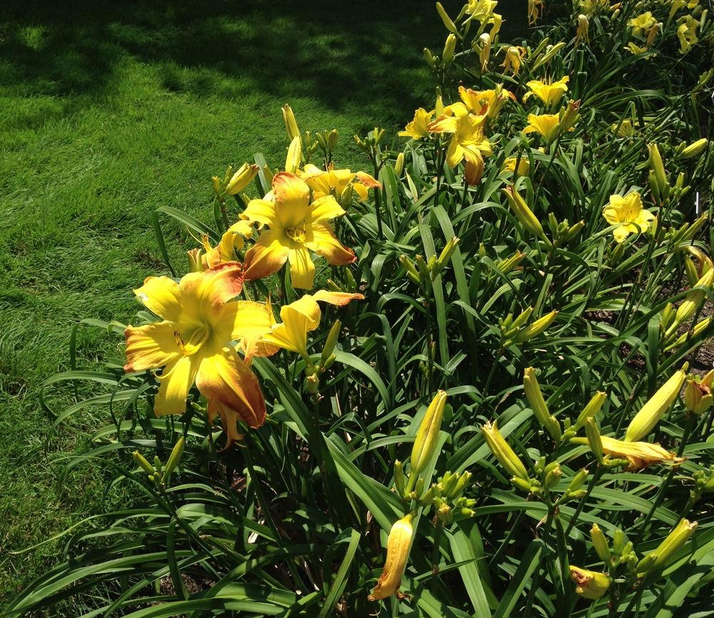Photo of Daylily (Hemerocallis 'Valley Monster') uploaded by bxncbx