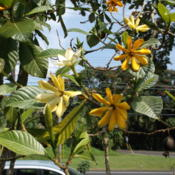 Location: Hilo, Hawai'i IslandDate: 2/10/2015Flowering tree.