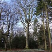 "Location: Wallington Hall, Northumberland, UKDate: 2015-02-24Known as the ""Blackett Beech"" this is one of the tallest trees at"