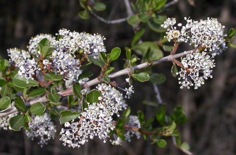 Photo of Buckbrush (Ceanothus cuneatus) uploaded by Calif_Sue