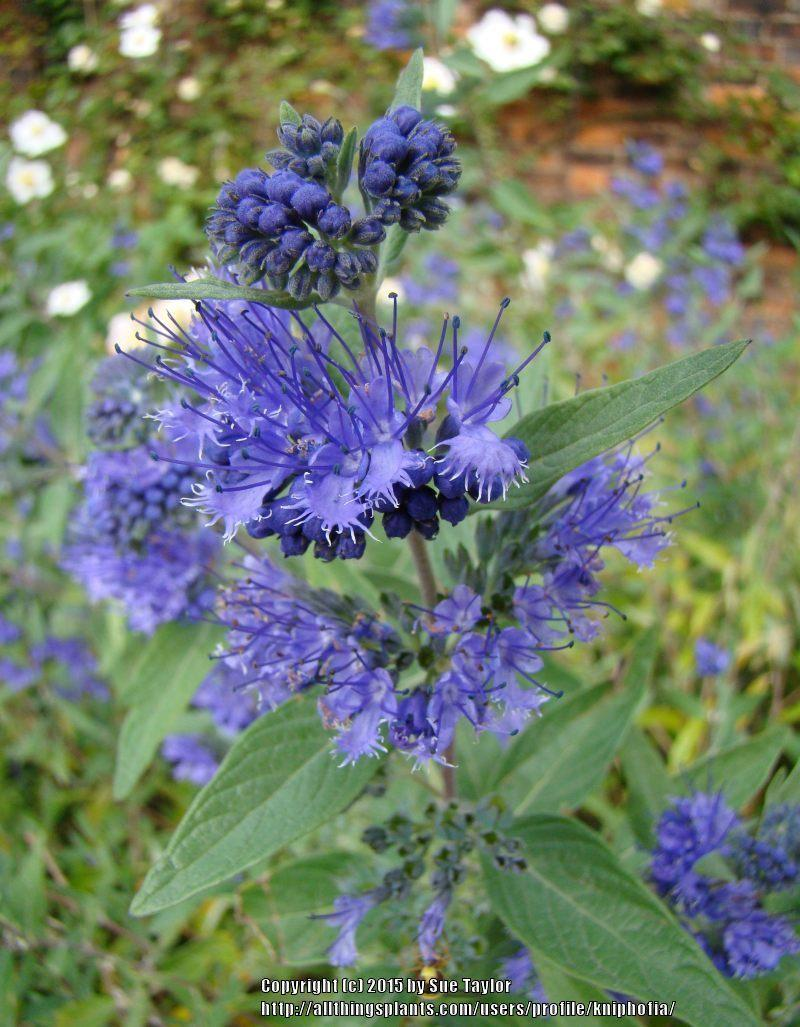 Photo of Bluebeard (Caryopteris x clandonensis 'Heavenly Blue') uploaded by kniphofia
