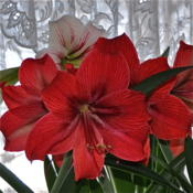 Date: 2015-02-27 A Bouquet of Amaryllis'