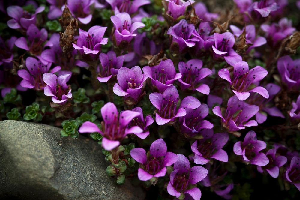 Photo of Purple Saxifrage (Saxifraga oppositifolia) uploaded by admin