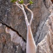 Location: Socotra IslandDate: 2013-08-22Photo courtesy of: Rod Waddington