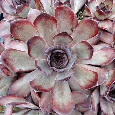 Photo of Hen and Chicks (Sempervivum tectorum 'Grammens') uploaded by Joy
