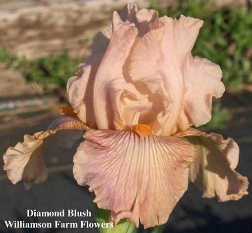 Photo of Tall Bearded Iris (Iris 'Diamond Blush') uploaded by Calif_Sue