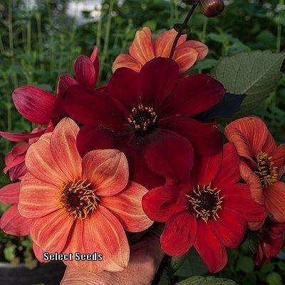 Photo of Dahlia (Dahlia pinnata 'Bishop's Children') uploaded by Joy