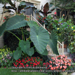 Thumb of 2015-03-08/caladiums4less/9cb22a