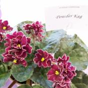 Location: Tampa, FLDate: 2007-02-24Tampa African Violet Show