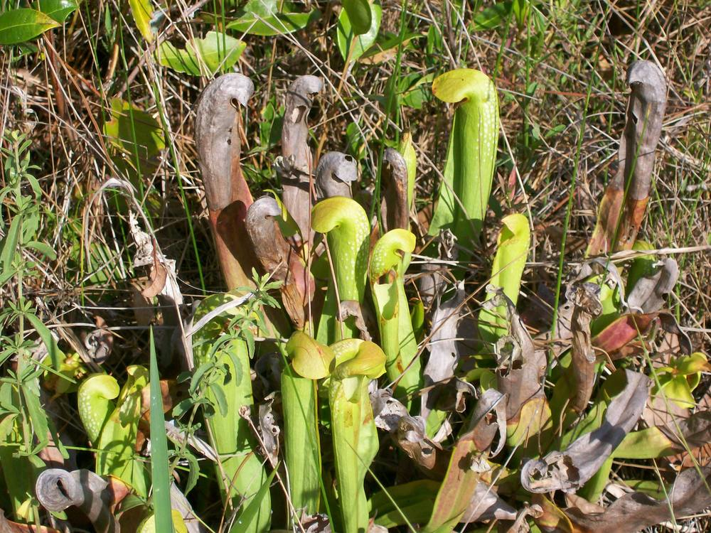 Photo of Hooded Pitcher Plant (Sarracenia minor) uploaded by mellielong