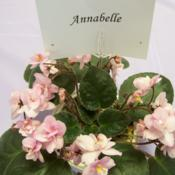 Location: Tampa, FLDate: 2007-02-24Tampa African Violet Show, incorrect ID
