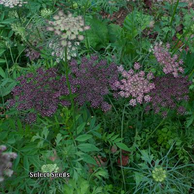 Photo of the entire plant of Queen Anne's Lace (Daucus