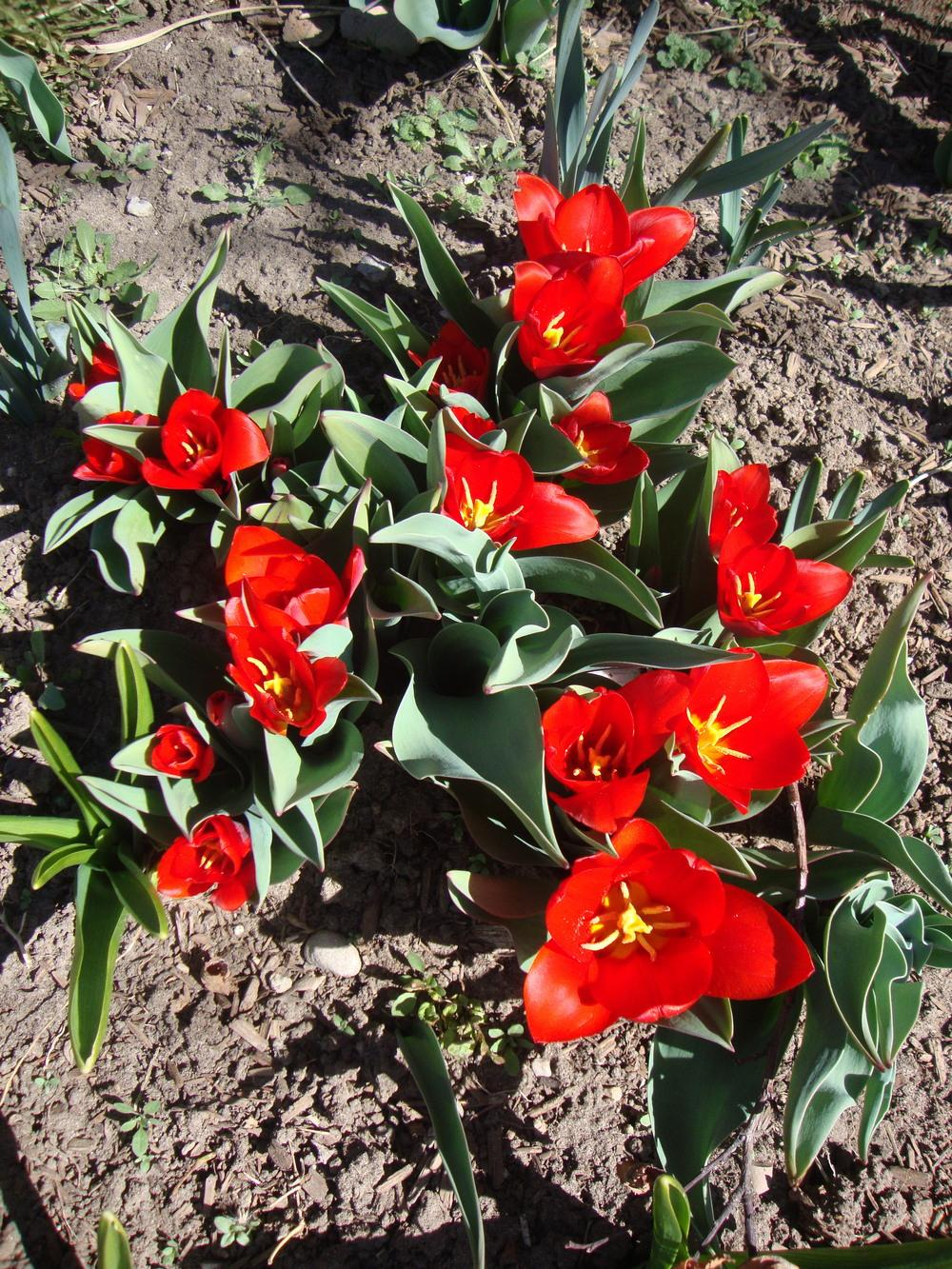 Photo of Greigii Tulip (Tulipa greigii 'Red Riding Hood') uploaded by Paul2032