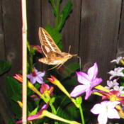 Location: central IllinoisDate: 9-29-14Very attractive to the sphinx moths that arrive as the sun goes d