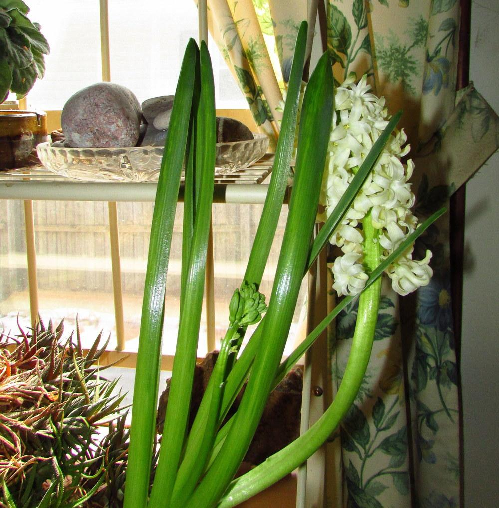 Photo of Hyacinth (Hyacinthus orientalis 'Yellowstone') uploaded by jmorth