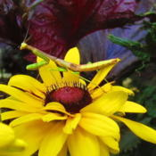Location: central IllinoisDate: 8-18-11Mantis loose in world of flowers...