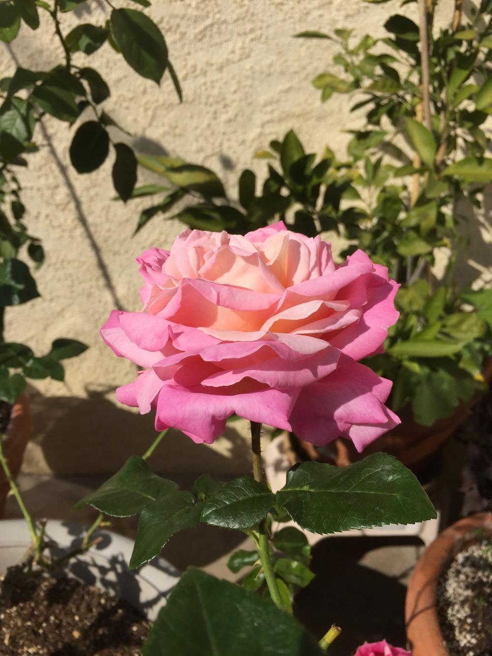 Photo of Rose (Rosa 'Beverly') uploaded by mattmackay22