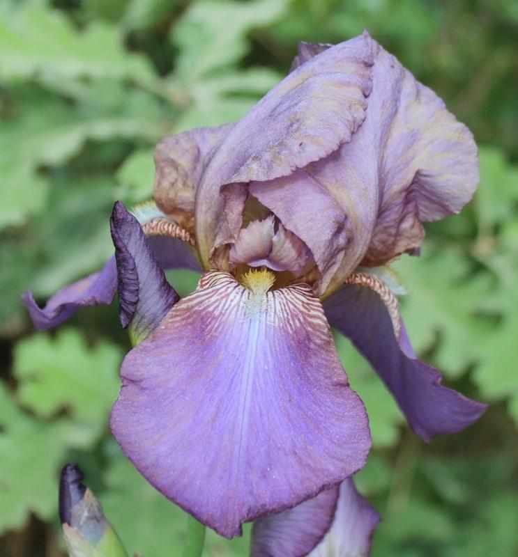 Photo of Tall Bearded Iris (Iris 'Beotie') uploaded by Calif_Sue