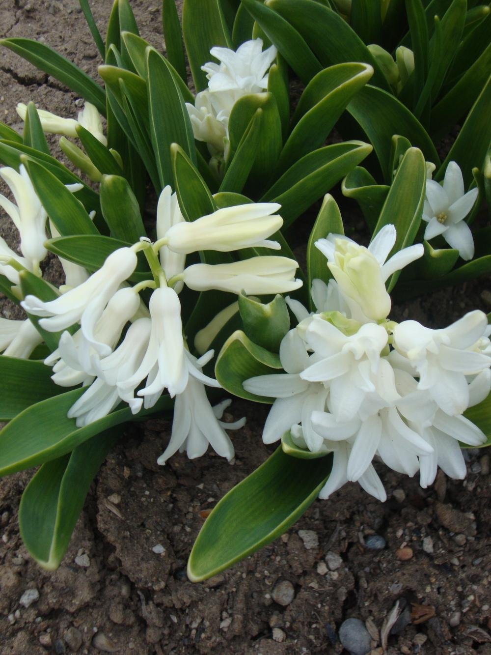 Photo of Hyacinths (Hyacinthus) uploaded by Paul2032