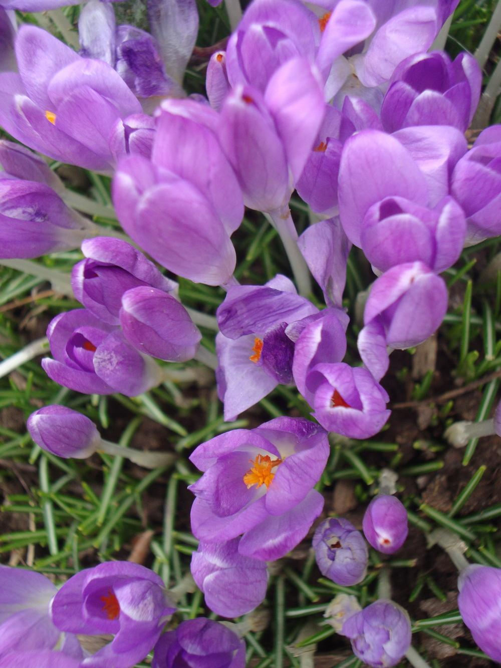 Photo of Crocus uploaded by Paul2032