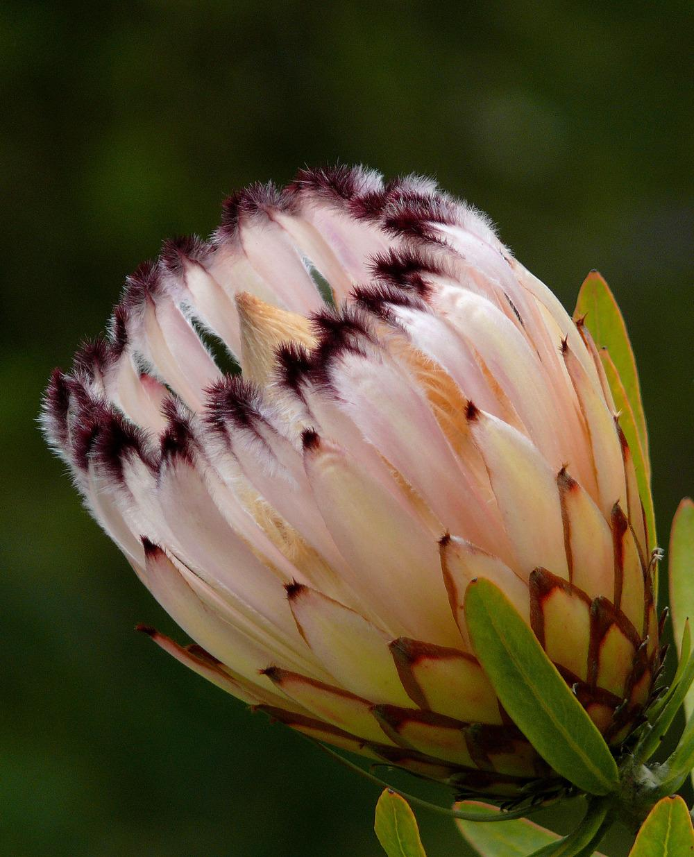 Photo of Oleander Leaf Protea (Protea neriifolia) uploaded by admin